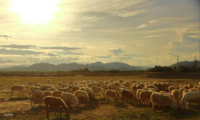 hoàng hôn đẹp cùng bầy cừu